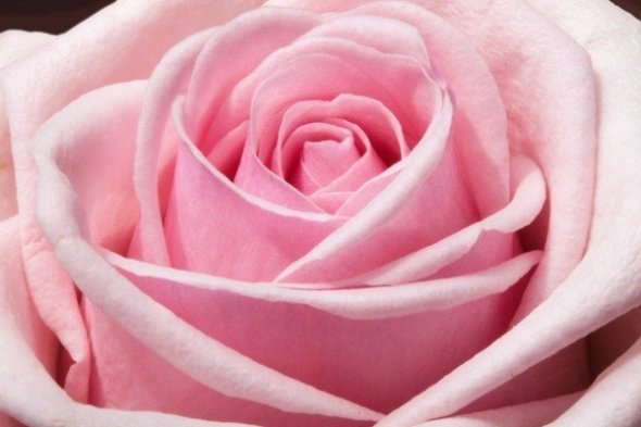 close-up-of-pink-rose-in-bloom